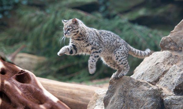 Кошка Жоффруа прыгает