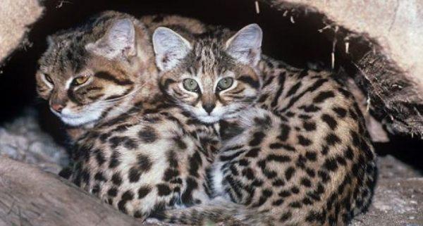 Кошка Жоффруа с котёнком