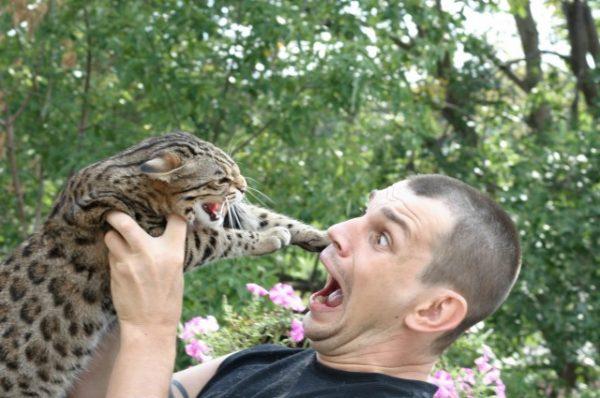 Кошка Жоффруа шипит на мужчину