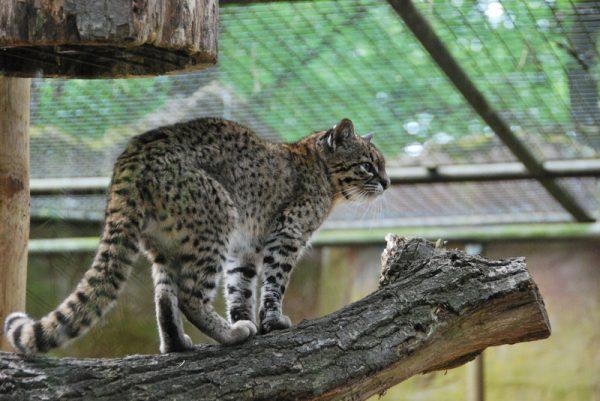 Кошка Жоффруа в зоопарке