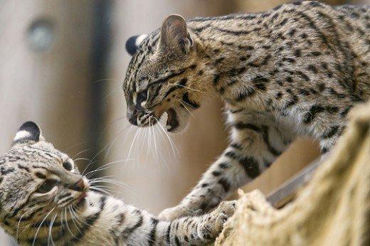 Кошки Жоффруа общаются