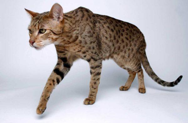 Кот ашера