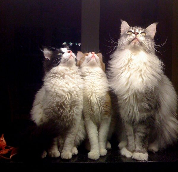 Кот и две кошки породы лаперм смотрят ввех