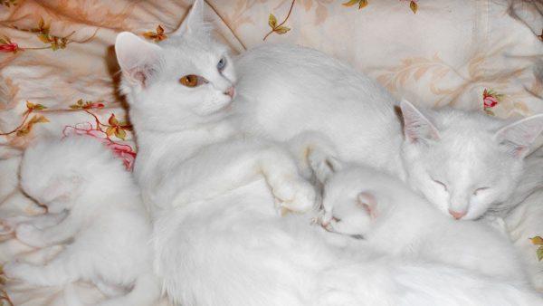 Кот и кошка као мани с котятами