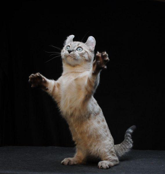Кот кинкалоу подпрыгивает, стоя на задних лапах