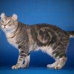 Кот породы американский кёрл стоит и смотрит ввысь