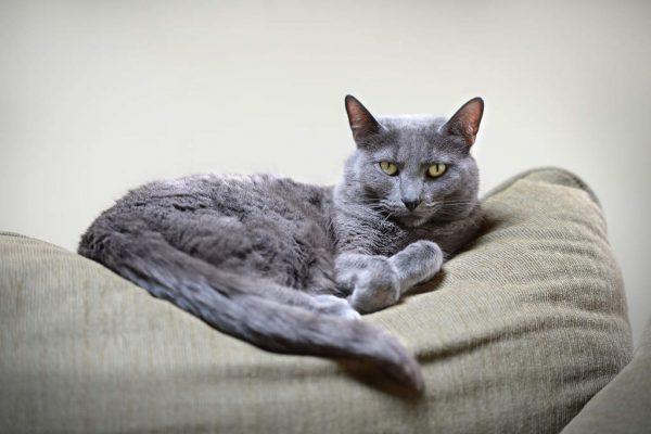 Кот породы корат на сером пуфике