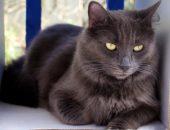 кот породы нибелунг