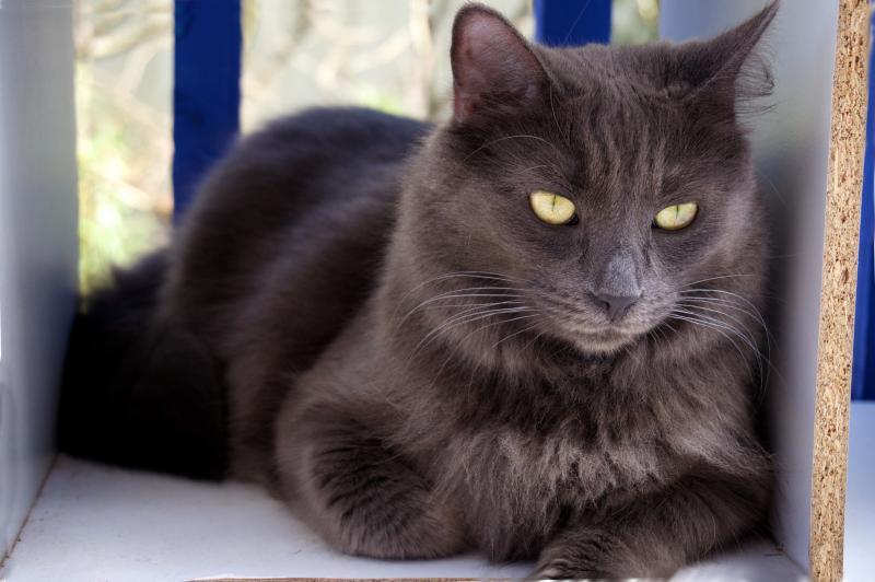 Особенности кошек породы нибелунг и уход за ними
