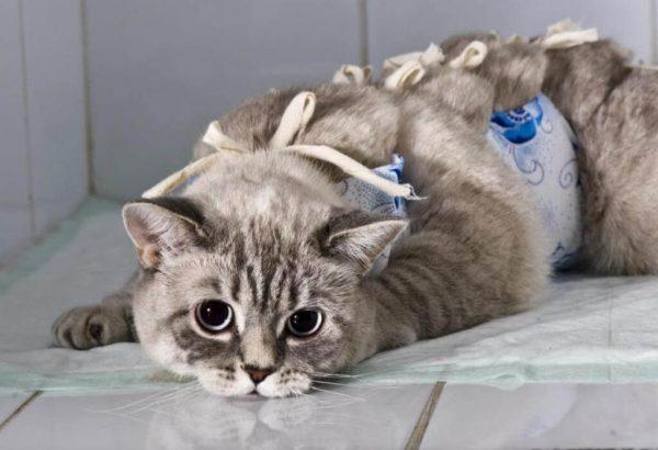 Кошка после операции в повязке