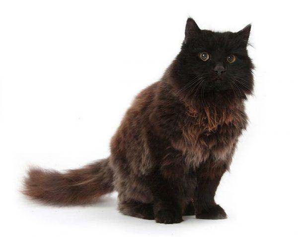 Кот шоколадно-лилового окраса
