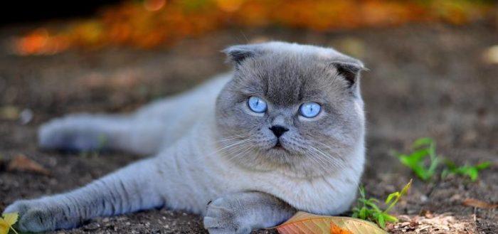 Кот шотландской породы лежит на земле