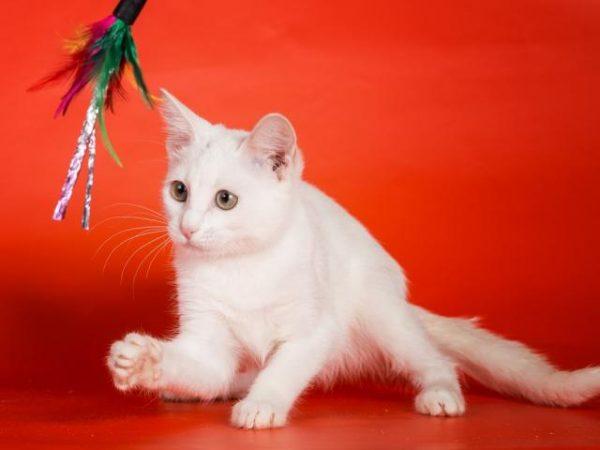 Котёнок анатоли