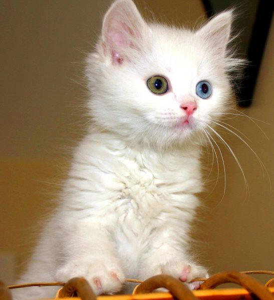 Котёнок анатолийской кошки