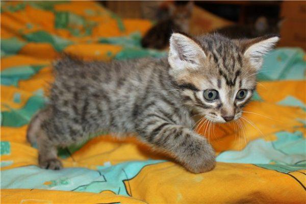Котёнок без хвоста
