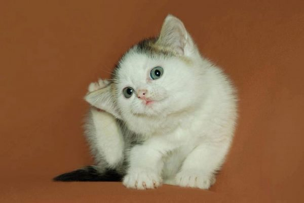 Котенок чешет ушко