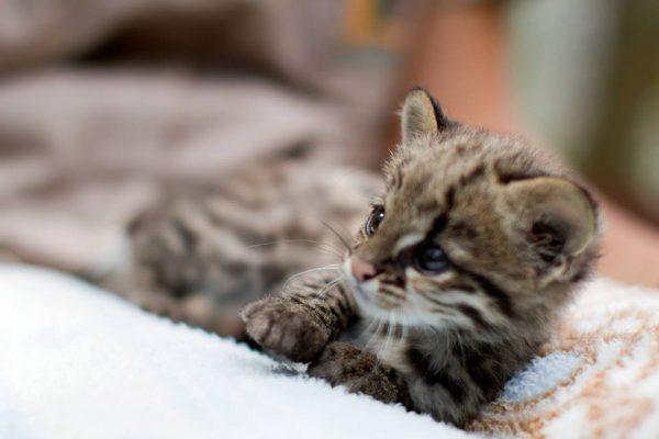 Котёнок онциллы на полотенце