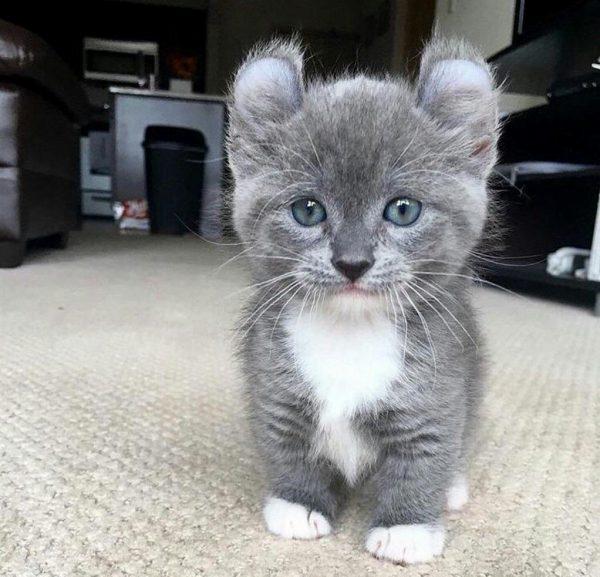 Котёнок кинкалоу дымчато-белой расцветки