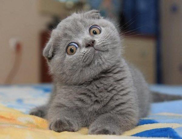 Котёнок породы шотландская вислоухая