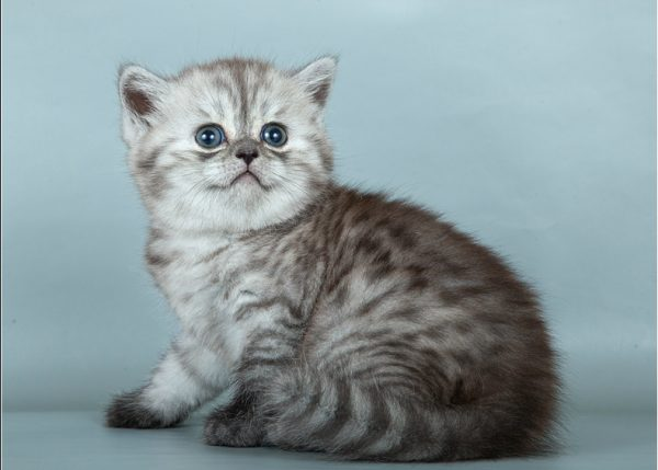 Котёнок породы скоттиш-страйт