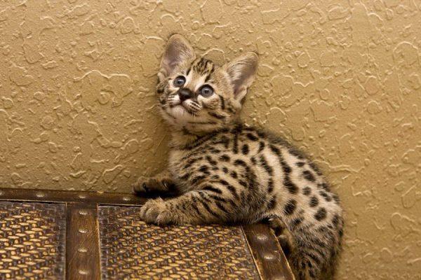 Котёнок саванны