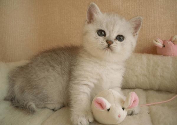Котёнок шиншиллы с игрушкой