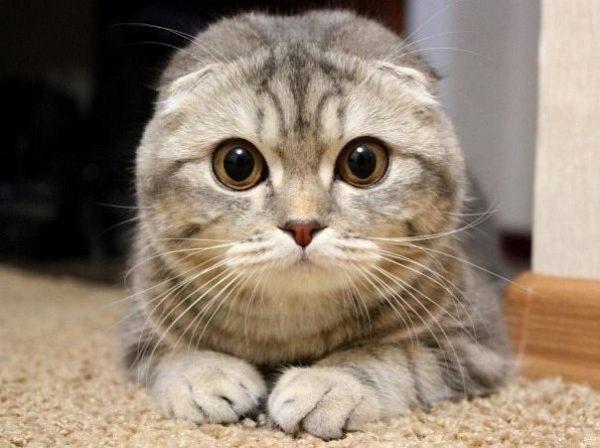 Котёнок породы скоттиш-фолд