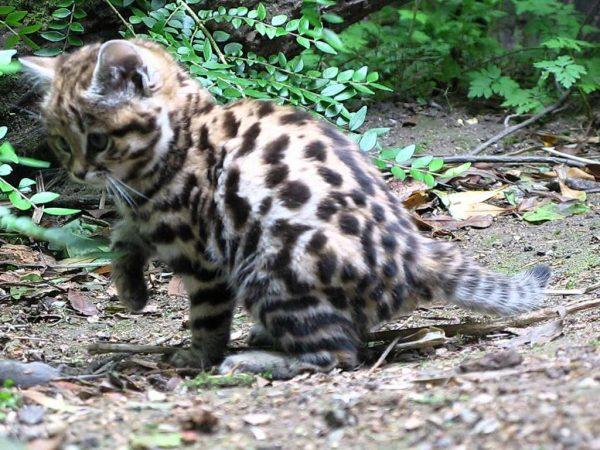 Котёнок тигровой кошки