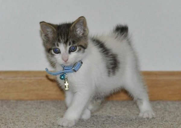 Котёнок японского бобтейла