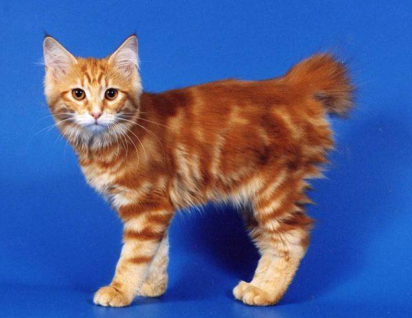 Котёнок японского бобтейла мраморного окраса