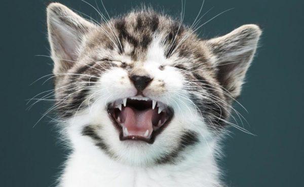 Котёнок зажмурился и открыл рот