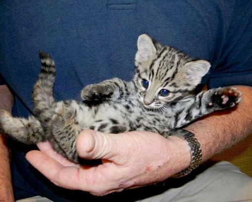 Котёнок Жоффруа в ладонях