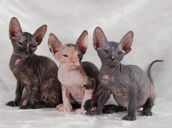 Коты породы донской сфинкс