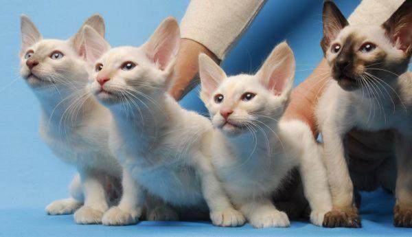 Котята балинезы
