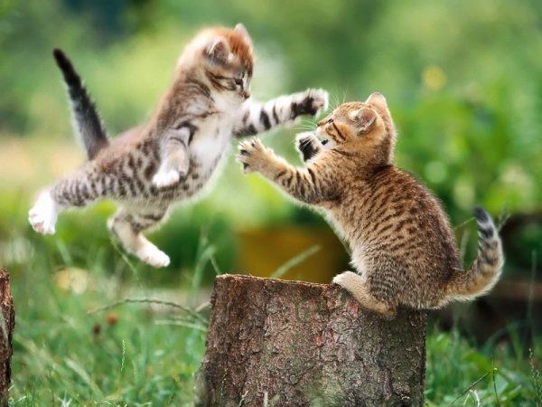 Котята играют друг с другом