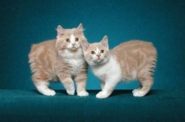 Котята породы мэнкс