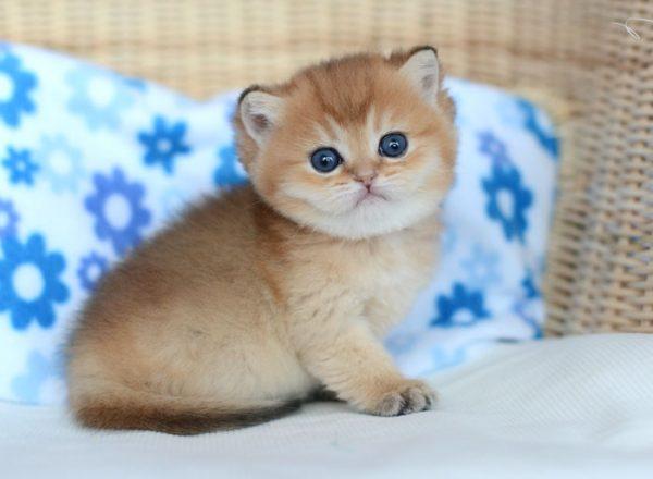 Котёнок породы шиншилла золотого окраса