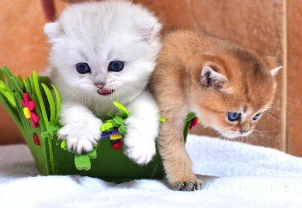 Котята шиншиллы