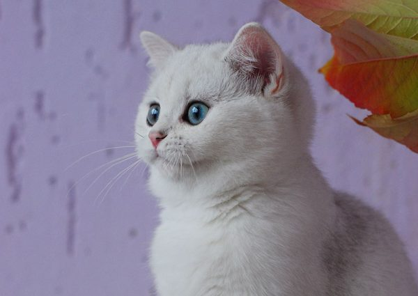Котёнок шиншиллы