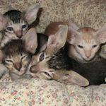 Котята яванезы