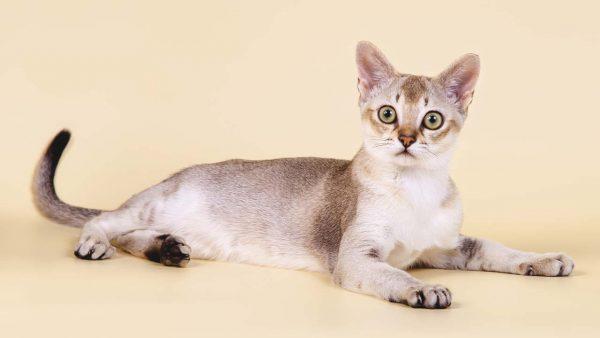 Красивая сингапурская кошка