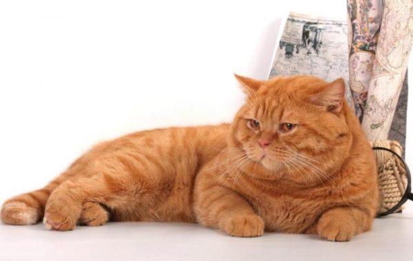 Красный британский кот