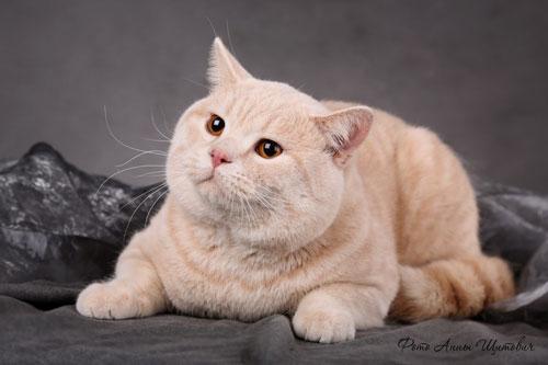 Кремовый британский кот