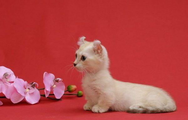 Кремовый котёнок кинкалоу сидит рядом с орхидеей