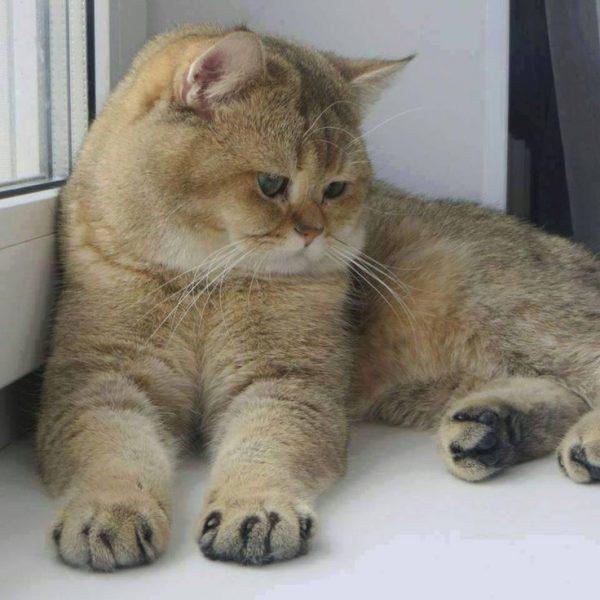 Экзотическая кошка на подоконнике