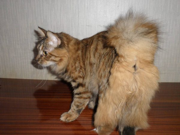 Курильская кошка бобтейл