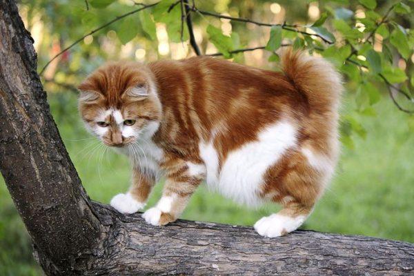 Курильский бобтейл на дереве