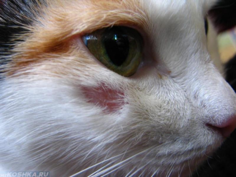 Лишай у кошек: причины появления, виды и особенности лечения