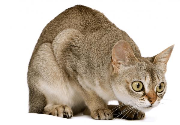 Любопытная сингапурская кошка