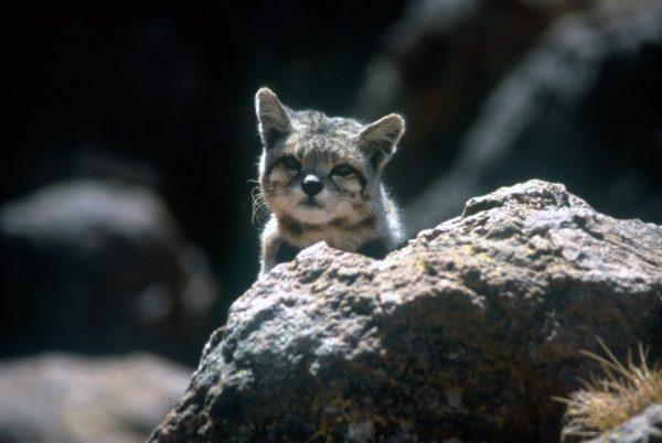 андский котёнок за камнем